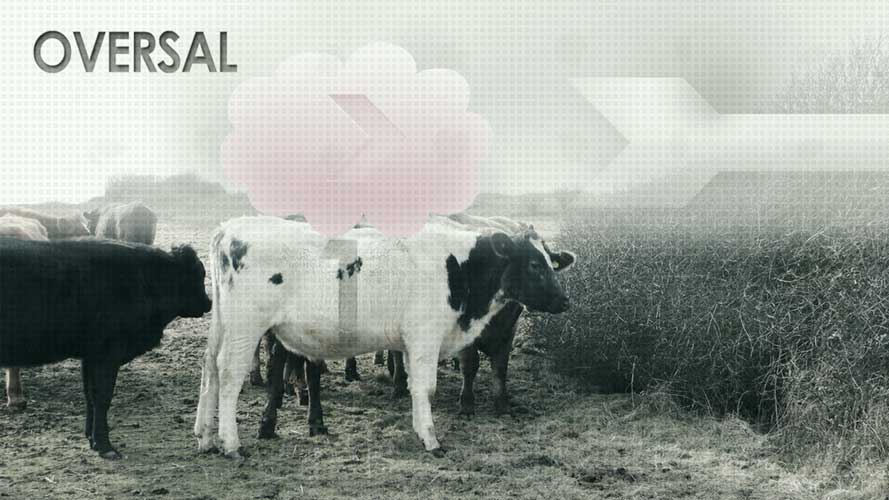 Oversal media, cows in the field